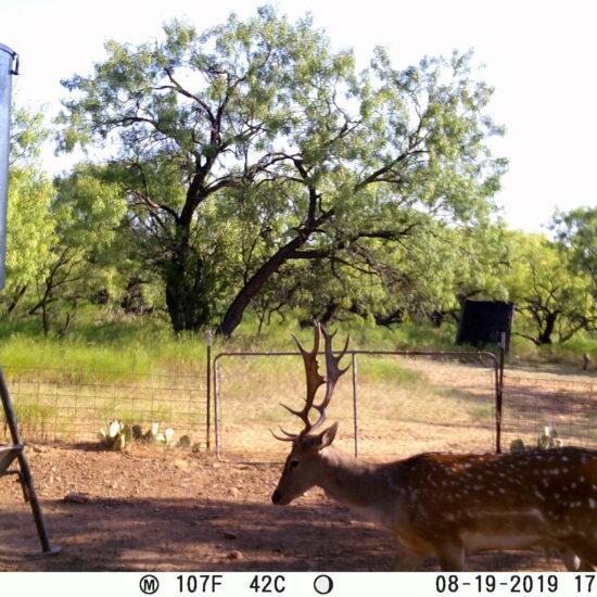 Fallow Deer Trail Cam