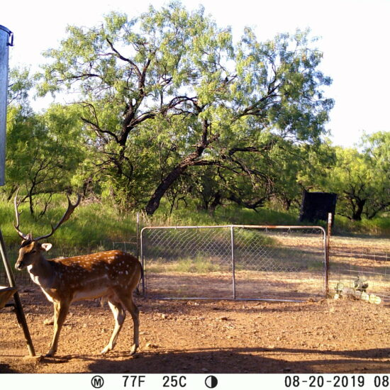 Texas Fallow Deer Trail Cam