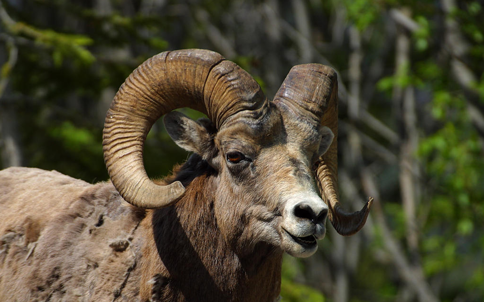 Hunt Mouflon Sheep
