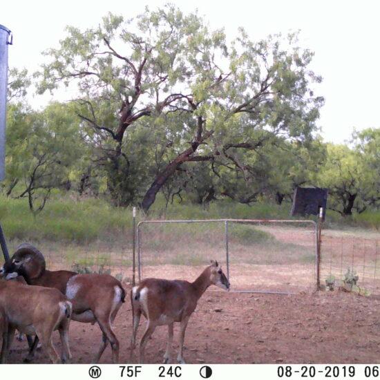 Mouflon Sheep Trail Cam