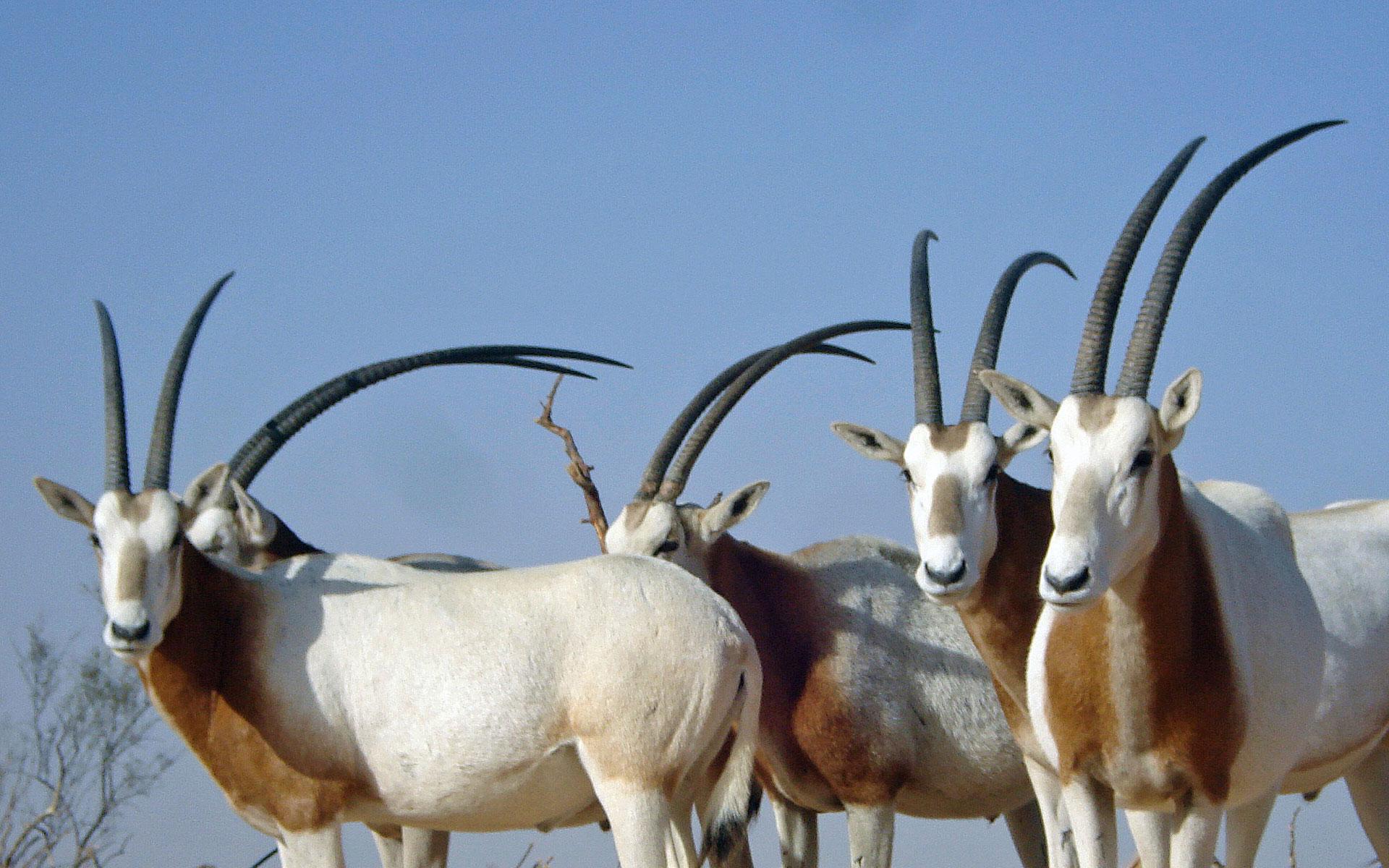 Texas Scimitar Horned Oryx Three Amigos Ranch